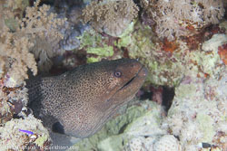 BD-131210-St-Johns-1073-Gymnothorax-javanicus-(Bleeker.-1859)-[Giant-moray].jpg